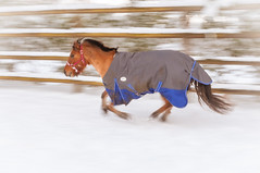 20170114-0036 (splaett) Tags: cheval hiver equitation poney pony neige galop
