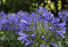 under the trees (cheezepleaze) Tags: agapanthus summer flower nature bokeh blue takinganonmacrowithmynewmacro macro
