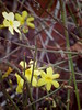 spring is coming (EllenJo) Tags: january2017 ellenjo 2017 pentaxqs1 pentax home ourhouse bloom flower january16 earlybloomer forsythia yard yellow