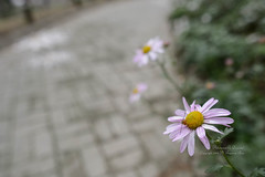 S16_1582 (Daegeon Shin) Tags: nikon d4 nikkor 20mm 20mmf18 dof flower flor insect insecto crisantemo chrysanthemum pavement pavimento bokeh 니콘 심도 꽃 구절초 곤충 등에 보케 빛망울