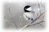 Winter Chickadee (timjhopwood) Tags: chickadee winter snow falling