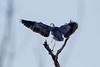 _F0A7264.jpg (Kico Lopez) Tags: ardeacinerea galicia garzareal lugo miño spain aves birds rio