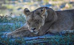 Naptime (michaelfitzgerald1982) Tags: lion sleeping lioness naptime snooze sleep
