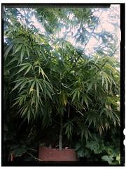 Cannabis (mcg0011) Tags: marihuana cannabis arbolito manuelcarrasco nature green