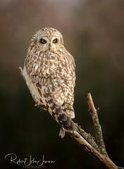 Looking Sultry (~ Bob ~) Tags: stanwood branch owl washington state shortearedowl washingtonstate bird raptor wildlife