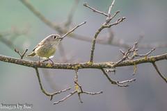 _DSC0583.jpg (susanm53@verizon.net) Tags: bird tuolumneriver california outdoor trees lessergoldfinch river nature