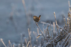 On the lookout (Chris Bainbridge1) Tags: rspbstrumpshawfen hoar frost winter troglodytes wren