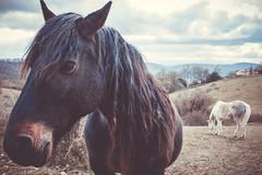 Horses (Chloé +++) Tags: horses chevaux horse cheval colline hill occitanie pyrénées midipyrénées canon eos400d animals animaux