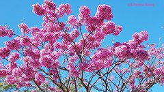 Details of a Pink Trumpet Tree, Tabebuia Rosae, El Salvador (ssspnnn) Tags: bignoniaceae maquilishuat tabebuiarosae pink pinktrumpettree samsung edge snunes nunes spnunes spereiranunes elsalvador arbol arvore rosa