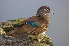 American Wood Duck (f) [Explore] (Eiona R.) Tags: explore llanelli wales unitedkingdom gb wwtllanelli woodduck