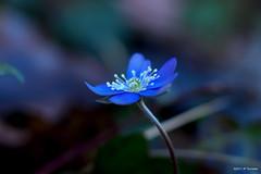Anémone (jpto_55) Tags: fleur anémone bleu macro bokeh xe1 fuji fujifilm omlens om85mmf2 france hautegaronne