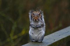 Shy Squirrel (- A N D R E W -) Tags: squirrel nature wildlife uk reserve forest marsh shy nikon d7100 sigma 70300mm edit edited dof depth bokeh defocus