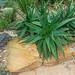 Aloe scobinifolia