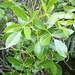 Bursera inaguaensis