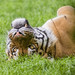 Cute tiger on his back