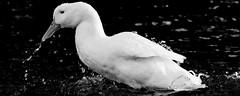 Drinking Goose (DaveFlker) Tags: mono goose edition 100x2015