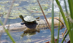 """""""But the World is So Big!"""" -- Baby Red-Eared Slider (Trachemys scripta elegans); Albuquerque, NM, Tingley Beach Park [Lou Feltz] (deserttoad) Tags: park shadow newmexico nature water pond turtle herps invasive"""
