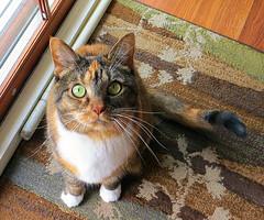 """You forgot to mention my birthday"" 5099Ri 5x6 (edgarandron - Busy!) Tags: cats cute cat gracie feline tabby kitty kitties tabbies bestofcats patchedtabby kittyschoice coth5 vg~catsgallery sunrays5"