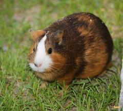5. The guinea pig / морская свинка