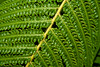 CW176 Ferns (listentoreason) Tags: usa plant fern color green nature closeup america canon unitedstates pennsylvania favorites places longwoodgardens pteridophyta ef28135mmf3556isusm score30