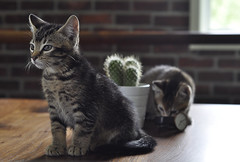 Ron and Shelley (Orbittrap) Tags: cactus cat succulent kitten tabby brickwall tabbycat d90 orbittrap