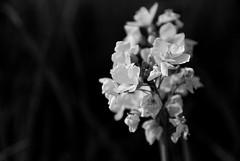 Monochrome Alive (whitesepulchre) Tags: life blackandwhite white black flower monochrome beauty field germany petals still nikon soft blossom country feld peaceful serene wildflowers delicate blume schwarzweiss blte fragile depth bnw rheinlandpfalz westerwald blancetnoir friedlich schn lndlich weich rhinelandpalatinate d80