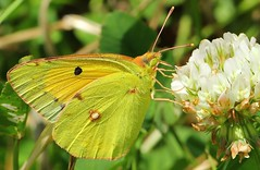 Clouded Yellow  - Colias crocea (4) (Richard Collier - Wildlife and Travel Photography) Tags: yellow insect wildlife butterflies naturalhistory azores cloudedyellow coliascrocea azorebutterfly azoresnaturalhistory