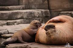 Tierpark Hagenbeck 26.07.2015 124 (Fruehlingsstern) Tags: leo ivan hamburg loki elefant igor irina masha eisbr walross tierparkhagenbeck canoneos750 kamtschatkabr tamron16300