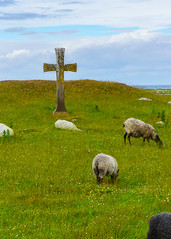 Sheep (pontus.nyholm) Tags: travel green field grass animal cross sheep outdoor sony grassland land a6000