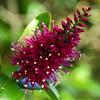 Hebe speciosa (Uppwoods) Tags: flower native hebe koromiko