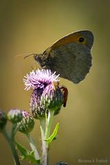 Natsommerfugle (Heterocera) (marianneaugustinus) Tags: travel red summer sky sun flower green nature denmark nikon europe roadtrip danmark nikond7000cafe