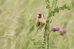 DSC_6983 Putter : Chardonneret eleganz : Carduelis carduelis : Stieglitz : Eurasian Goldfinch