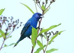 Indigo Bunting (hennessy.barb) Tags: indigobunting blue bird cadescove barbhennessy