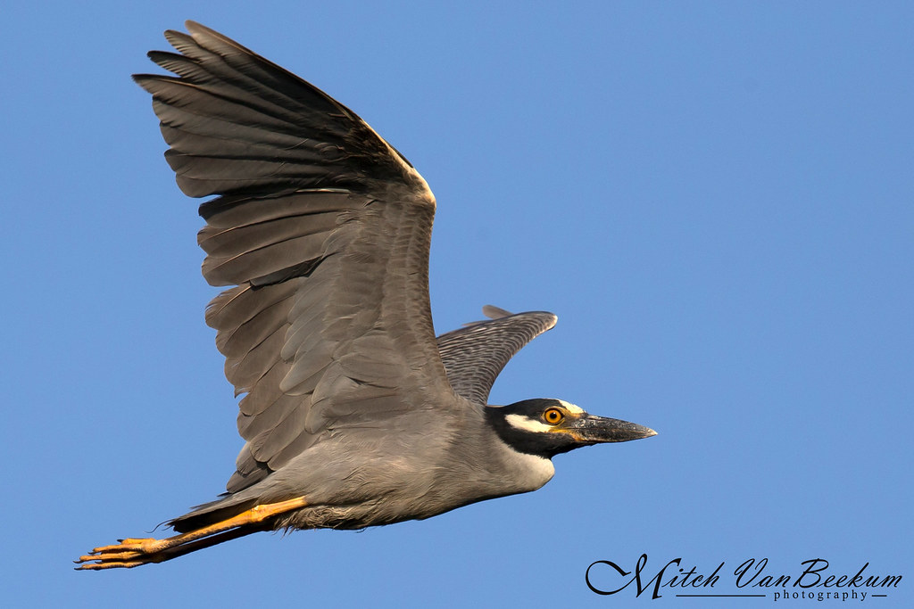 Yellow Crowned Night Heron in flight