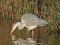 Grey heron (PhotoLoonie) Tags: greyheron heron nature britishwildlife wildlife wadingbird