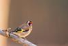 chardonneret élégant (photopierrot44) Tags: oiseau chardonneret élégant passereau nature nikon mangeoire extérieur sauvage