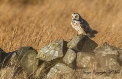 SEO with lunch. (nondesigner59) Tags: shortearedowl predator prey nature wildlife archives moorland drystonewall copyrightmmee eos7dmkii nondesigner nd59 feb2016 westyorkshire
