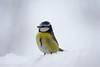 Blåmeis - Blue tit-2.jpg (Robert Fredagsvik - Norway) Tags: events fugler places risvollan norway estenstadmarka trondheim blåmeis bluetit birds