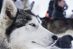 Snowdog (• Julien Laroche) Tags: chien dog husky race neige froid traineau snow couleur blanc white color animal animaux animals jlaphotographie colombier seyssel ain fetedelaneige grandcolombier huskies huskie