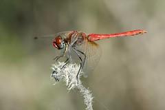 Male (jrosvic) Tags: sympetrumfonscolombii libellulidae entomology odonata anisoptera freehand nikond7100 nikonafs300mmf4 dragonfly libélula cartagena spain redveineddarter