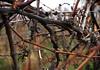 Wildwuchs (LoggeJo) Tags: weinrebe weinberg winter kahl vineyard vine