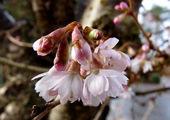 Cherry blossom - EXPLORED (Hornbeam Arts) Tags: tree