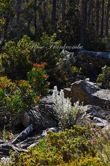 NATURE'S WONDERLAND - BOXING DAY 2016 (Rose Frankcombe) Tags: wildflowers scree nativeflora centralhighlands tasmania australia rosefrankcombe