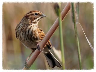 Repicatalons - Escribano palustre - Common Reed-Bunting - Emberiza schoeniclus