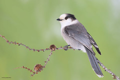 Mésangeai du Canada - Grey jay - Perisoreus canadensis (Maxime Legare-Vezina) Tags: bird oiseau nature wild wildlife animal fauna ornithology biodiversity canon winter hiver