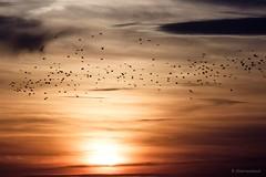 night flight (bernd obervossbeck) Tags: sky himmel abendhimmel abendsonne abendstimmung schwarm vogelschwarm flockofbirds evening eveninglight eveningsky sunset sonnenuntergang fujixt1 silhouette dars bodden ostsee mecklenburg mecklenburgvorpommern