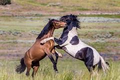 Utah's West Desert Mustangs (Just Used Pixels) Tags: mustangs wildhorses utah westdesert animals nature battle explore