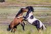 Utah's West Desert Mustangs (Just Used Pixels) Tags: mustangs wildhorses utah westdesert animals nature battle