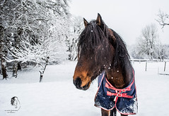 Snow Day Fun with my Stallion (© S. D. 2010 Photography) Tags: horse equine stallion spanish paso fino puerto rican stud snow winter wonderland funday capriole bay free frolicking
