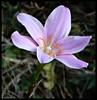 Rain lily (Indianature st2i) Tags: valparai westernghats tamilnadu tea indianature india indiragandhiwildlifesanctuary anamalaitigerreserve anamalais anamallais 2016 2017 nature wildflower rainlily